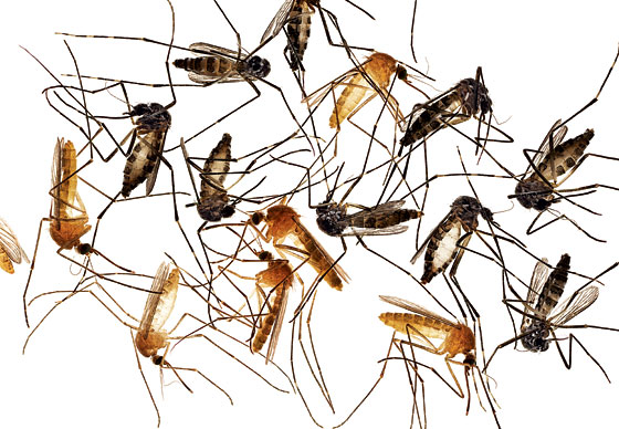 Mosquito Breeding and Lifecycle