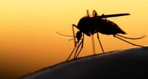 Mosquito dusk