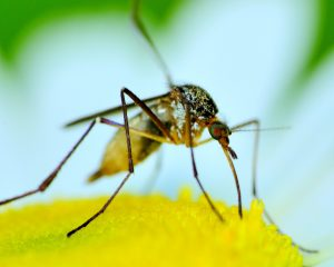 Mosquitoes, particularly male, serve some purpose in pollinating flowers.
