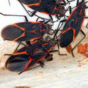 box elder bugs many