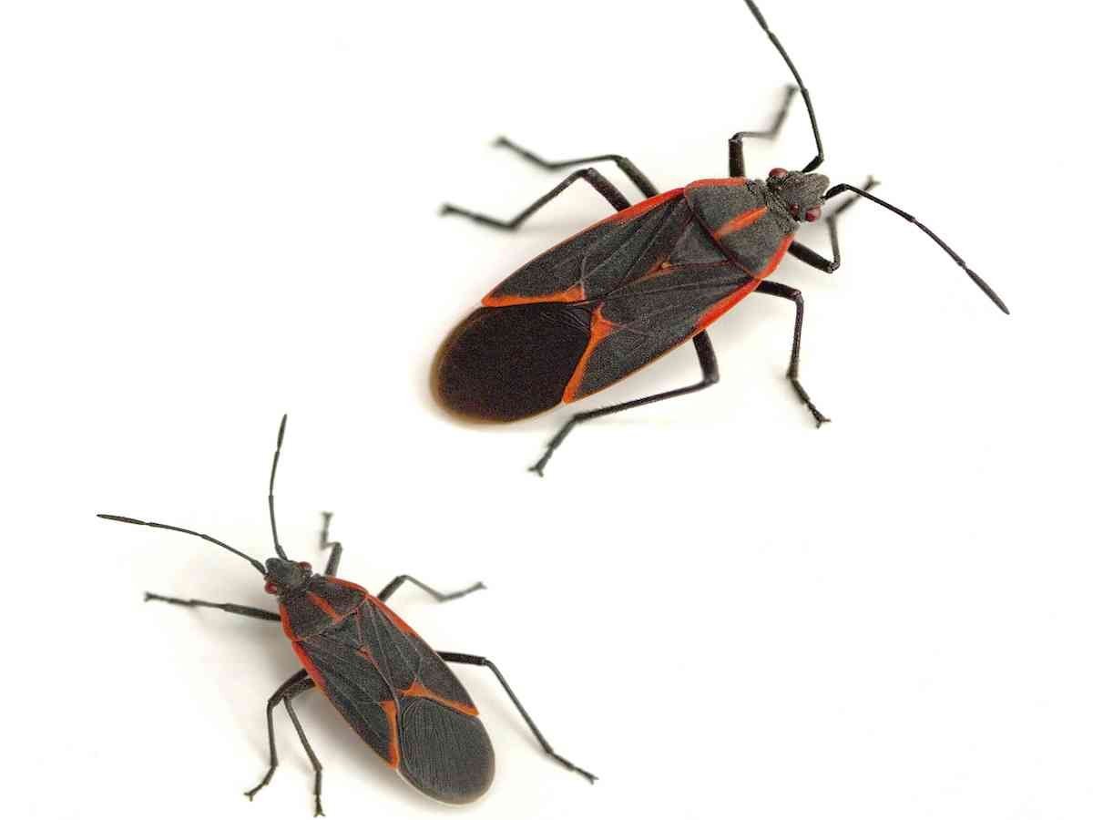 ad1c162da0 Boxelder Bugs are well-known in many parts of the country as a harmless but  annoying pest. The small black and red/orange bugs are invasive, ...