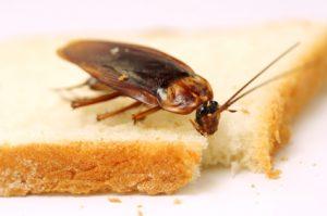 cockroach food