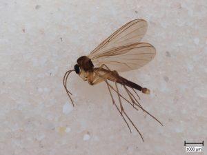 fungus gnat dunk bit