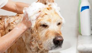 dog tick shampoo
