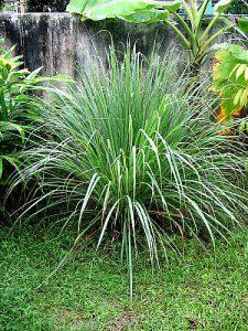 Cymbopogon-citratus-lemongrass
