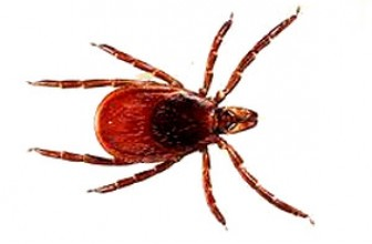 Tick Facts